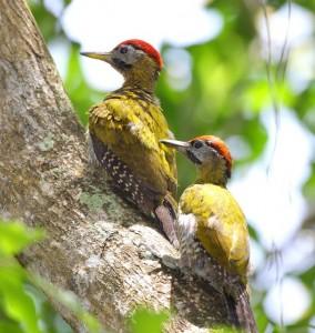 Kuala Selangor Nature Park Laced Woodpecker
