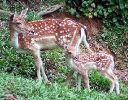Lake Gardens Park deers