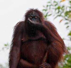 Lok Kawi Wildlife Park orang utan