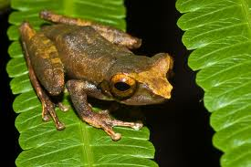 Tawau Hills Park frog