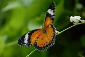 Botanical Gardens Penang butterflies