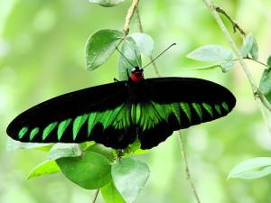 Raja Brooke Birdwing butterfly