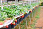Cameron Highlands strawberry