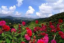 cameron highlands flowers