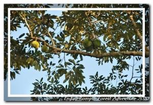 Durian tree in Kampung Peta
