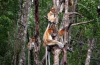 Labuk Bay Proboscis Monkey Sanctuary , Sandakan