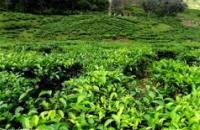 Sabah Tea Garden , Ranau