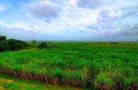 Chuping Sugar Cane Plantation