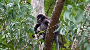 jungle trekking - Dusky_Leaf_Monkey_Langkawi3