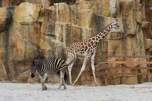 Giraffe and Friends