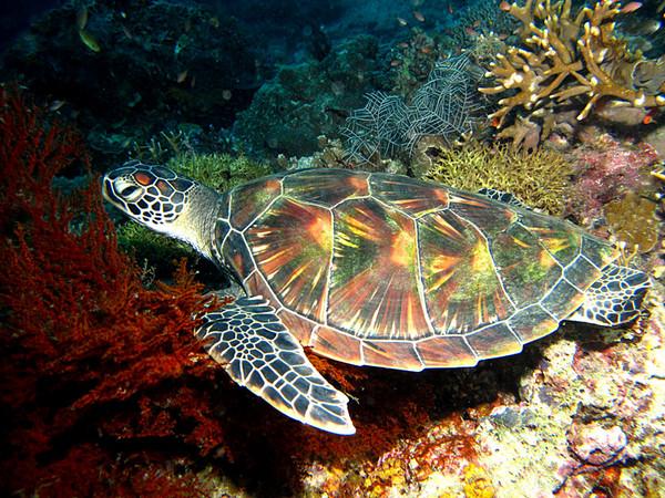 Kapalai underwater